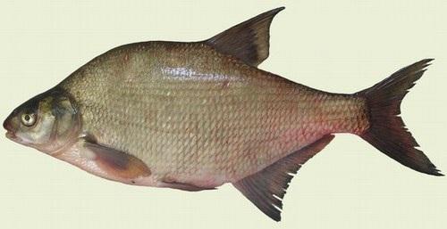 Лещ: немного про данную рыбу