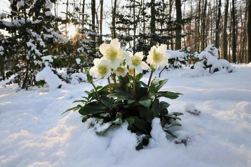 Снега - лепестками соцветий