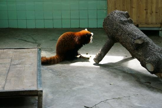 Shanghai_red-panda-eating-feces.1393595363.jpg