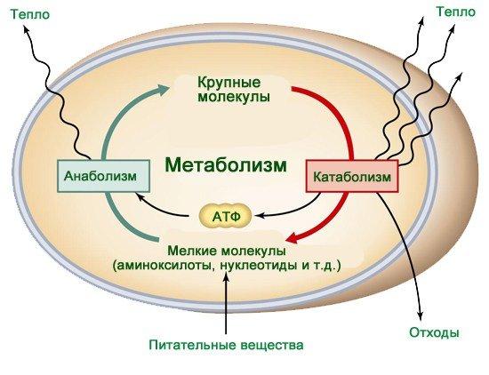 метаболизм и миостимулятор акура