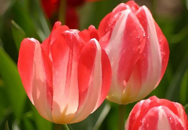 Тюльпан над палым листиком затеплился свечой