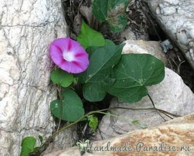 Ипомея — цветок утренней зари из капрона Ipomeya-tsvetok-utrenney-zari-iz-kaprona-5.1553656397