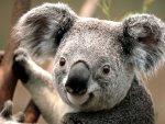 Koala.1290585424 Webp   новая замена JPEG от Google